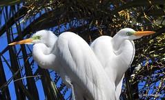 DSC_0909 (rachidH) Tags: birds oiseaux egrets herons aigrette greatwhiteegret garcetagrande ardeaalba whiteheron egrettaalba grandeaigrette plazaitalia buenosaires argentina rachidh nature