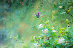 Hummingbird world  (T.ye) Tags: hummingbird allens autumn plant flower flowers bokeh soft dof todd ye outside ourdoor outdoor bird animal wild
