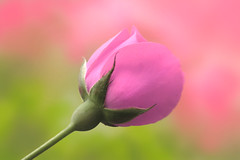 I'm always happy! (fucsia_7) Tags: pink rosa rose flor flower one bud spring november alone canon color nature closeup petals dof
