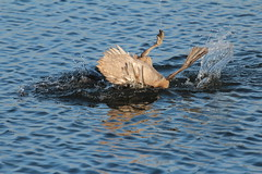 It's an idiot,It just gets dafter.  Juvenile Swan No 5 (jdathebowler Thanks for 1.1 Million + views.) Tags: cygnusolar juvenilemuteswan swan familyanatidae waterfowl muteswan bathingswan