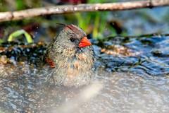 2016 Very Wet Cardinal (DrLensCap) Tags: very wet cardinal montrose point bird sanctuary chicago illinois il northern robert kramer