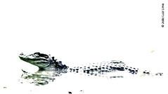Broad-snouted caiman (jluizmail) Tags: amazinganimal amazinganimals arlivre arts beauty bicho bichoimpressionante biologia biology brackishwater broadsnoutedcaiman caiman caimanlatirostris camera carnivorous couro day dentes ecologia environment ferociousanimal fotografia intenseanimals jluiz jluizmail lagoa lake leather muddywater nikond5300 nikondslr nikonphotography nikonreflex parque parquemunicipaldemarapendi passeio predador predator reptile riodejaneiro riofotografico vidaanimal vidaselvagem water wildanimal wildlife gualamacenta jooluizlima fotoporjooluizlima photobyjooluizlima fotografiajooluizlima photobyjluiz photobyjluizmail parquenaturalecolgicodemarapendi rptil natureza jacar carnvoro jcacardepapoamarelo caim