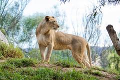2 Year Old Lioness (ToddLahman) Tags: lioness lion lions lioncamp lioncub canon7dmkii canon canon100400 sandiegozoosafaripark safaripark escondido