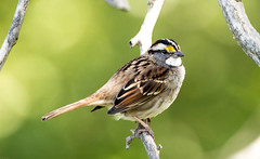 White throated sparrow (anitabryk2) Tags: whitethroatedsparrow swanriverpreserve
