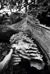 (a.pierre4840) Tags: olympus om4ti zuiko 50mm f14 ilford ilfordhp5 hp5 bw blackandwhite monochrome noiretblanc fungi hand woodland wood dof depthoffield bokeh texture