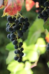 Weintrauben (1/2) (Vasquezz) Tags: wein wine weintrauben grapes herbst autumn pflanze plant flora
