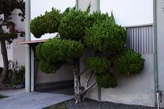 (Casey Lombardo) Tags: plants plant plantlife urbanplants shrubs shrubbery landscaping trees tree