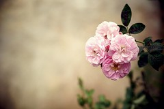 To my rose, even to the edge of the world ( mewot ) Tags: sweet flower pink rose