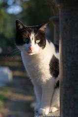 Cat (Yann OG) Tags: paris parisien parisian france franais french cat chat prelachaise cimetire cemetery 50mm goldenhour heuredore animal 75020 xx 20e