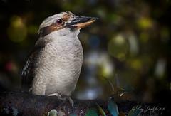 Laughing Kookaburra (Ray Dondzila) Tags: laughing kookaburra boulder ridge wild animal park zoo bird fowl