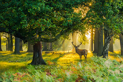 Richmond Park London (iesphotography) Tags: 1dx london richmondpark amazing animal background beauty canon canon1dx cool deer fauna mistymorning nature natureimage naturephotography outstanding park reddeer richmond rut rutting stag stunning sunrise tree uk ukweather ukwildlife wild wildlife wildlifephotography