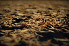 310.365.2016 (johnny the cow) Tags: pine needles abstract macro llanafan ceredigion wales cymru aberystwyth 365 366 2016 catalogue collection diary photo aphotoaday
