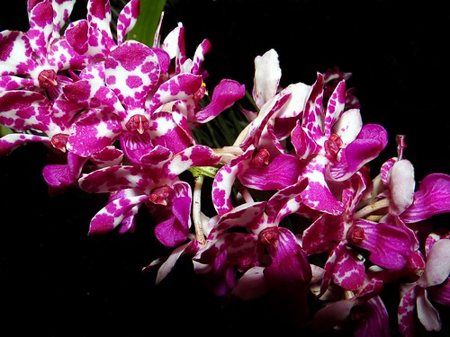 ORCHID  #38