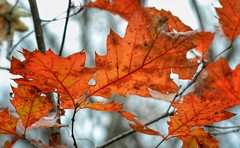 Autumn Oaks (mswan777) Tags: oak tree autumn fall season nature outdoor michigan forest woods hiking scenic nikon d5100 sigma 70300mm leaf orange detail