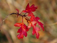 ultimas hojas (corbetapalentino) Tags: laguna de la nava