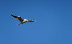 FREEDOM : a Seagul in flight in a deep blue sky (Franck Zumella) Tags: oiseau bird seagull mouette vol flight flyingsky blue bleu flying sky ciel