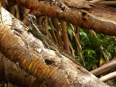 Basiliscus basiliscus (Luis G. Restrepo) Tags: p2210024 basiliscocomún commonbasilisk basiliscusbasiliscus reptil reptile lizard támesis antioquia colombia southamerica jesuschristlizard