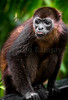 Young Howler Monkey, Mexico (cindy-lou ramsay photographer) Tags: howler monkeys cindylou ramsay photography central american wildlife scottish photographer animal endangered