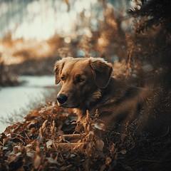 (:*`*:.Diey :*`*:) Tags: dog mydog look animal cute beautiful dof lights vsco vscofilm rnifilm golden goldenretriever nikon
