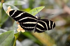 Zebra Longwing (Little Hand Images) Tags: zebralongwing butterfly insect flutterby smithsoniannaturalhistorymuseum washingtondc nature plants humid hot indoor fragile flower