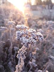 Winter is coming (alainebarnekow) Tags: winter cold november sunday sunshine sunrise explored frost frosty freezingcold fantasticnature early freez beautynature thebeautyofnature thenaturegroup