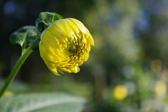 Berlin 2015 - Gärten der Welt (fabonthemoon) Tags: berlin berlijn germany deutschland allemagne gärtenderwelt garden jardin tuin fleur flower bloem yellow jaune geel marzahn