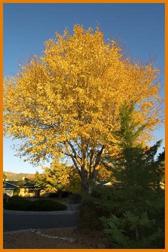 Silver Leaf Maple Albuquerque NM jpg