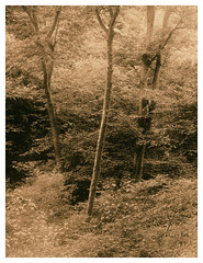 Blackford Hill, Edinburgh (Ivan B Palli) Tags: blackfordhill hermitageofbraid edinburgh lith lithprinting moersch ilford ihagee vintagecameras kodak bromesko woodland trees