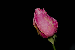 Winter Rose (J Newton Photography) Tags: pink rose winter france canon eos 60d 18135 still life flash ex430ii flower pretty gift