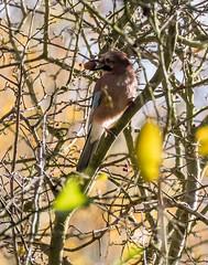 jay with acorn 069__295 (Baffledmostly) Tags: birds brandonmarsh jay