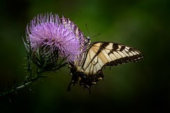 All In... (Portraying Life) Tags: michigan unitedstates handheld thistle flower meadow closecrop