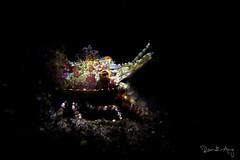 Saron marmoratus (Randi Ang) Tags: marble shrimp marbleshrimp saronmarmoratus saron tulamben bali indonesia underwater scuba diving dive photography macro randi ang canon eos 6d 100mm randiang