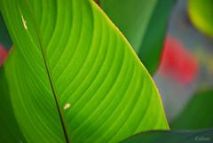 Envés (Franco D´Albao) Tags: francodalbao dalbao nikond60 hoja leaf verde green contraluz backlight plant envés nervadura