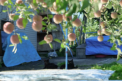 Untitled (pon-ko) Tags:   cat  hirosaki  aomori  apple xt1