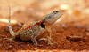 and here is the complete agama... (tdwrsa) Tags: tamronsp150600mmf563divcusda011 canoneos70d koggelmander satara krugerpark southerntreeagama