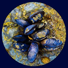 Mussels (rustyruth1959) Tags: coast cornwall padstow hawkerscove beach rocks mussels shells square circle blue