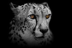 Focus (Just BS) Tags: cheetah spots cat carnivore canon feline bigcat zoo zoosofthesouth zoosofnorthamerica aza animal nature wildlife portrait blackandwhite photoshop eyes buschgardens tampa florida itsazoooutthere mammal blackbackground