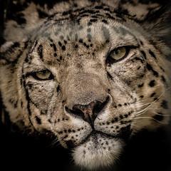 Leopard (flamelab.de) Tags: animal detail head leopard portrait stuttgart wild wilhelma zoo