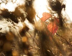 (Evelien Gerrits) Tags: eveliengerrits gerrits canon canon600d canoneos600d natuur nature moerputten moeras swamp sun plant blad leaf denbosch shertogenbosch