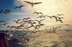 Shit Hawks Colored (Thought Knots Design) Tags: watershine thought knots design photography ocean atlantic sea water coast east antigonish nova scotia canada maritime maritimes tkd bird seagull seagulls birds flock flockers