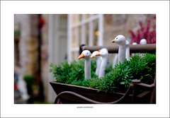Six geese a-laying (Descended from Ding the Devil) Tags: bakewell dof derbyshire beyondbokeh bokeh depthoffield geese photoborder selectivefocus