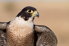 Peregrine Falcon (chrissteeles) Tags: peregrinefalcon falcon birdofprey raptor falconry bird