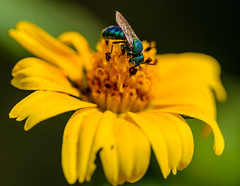 ESC_0004 (Deepak Kaw) Tags: tamron 90mm macro nikon nature bokeh beautiful india insect flower fly yellow green color composition contrast art bright food flickr explore