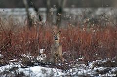 f_L5H_9669 (lechgawu) Tags: roedeer wildlife nature