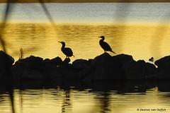 Silhouette (Desiree van Oeffelt) Tags: cormorant duck ducks phalacrocorax carbo birds bird wildlife wow wild water hiking hike hikr ankeveen nature netherlands nederland landscape landschaft landscapes sun sunlight sunshine sunset sunrays desireevanoeffelt canon silhouette