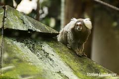 Mico Estrela (Stefan Lambauer) Tags: orquidário santos micoestrela mico saguí nature saguisdetufosbrancos callithrixjacchus stefanlambauer sãopaulo brasil brazil 2016 br