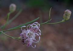 Grevillea bracteosa, Kings Park, Perth, WA, 16/09/16 (Russell Cumming) Tags: plant grevillea grevilleabracteosa proteaceae kingspark perth westernaustralia