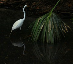 The Great Egret & Palm (Samantha Evans of TSI Photography) Tags: trees plants brown plant black reflection green nature water leaves birds canon neck bill pond eyes legs zoom body head tail beak feathers palm egret greategret alligatorfarm canon60d canon100300