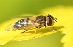 Hoverfly (nitram0864) Tags: macro nature canon hoverfly raynox raynoxdcr150 mygearandme mygearandmepremium mygearandmebronze mygearandmesilver mygearandmegold mygearandmeplatinum mygearandmediamond photographyforrecreation canoneos600d