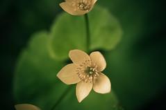 Marigold (BrendanDougherty) Tags: minnesota northshore gooseberryfalls beaverbay